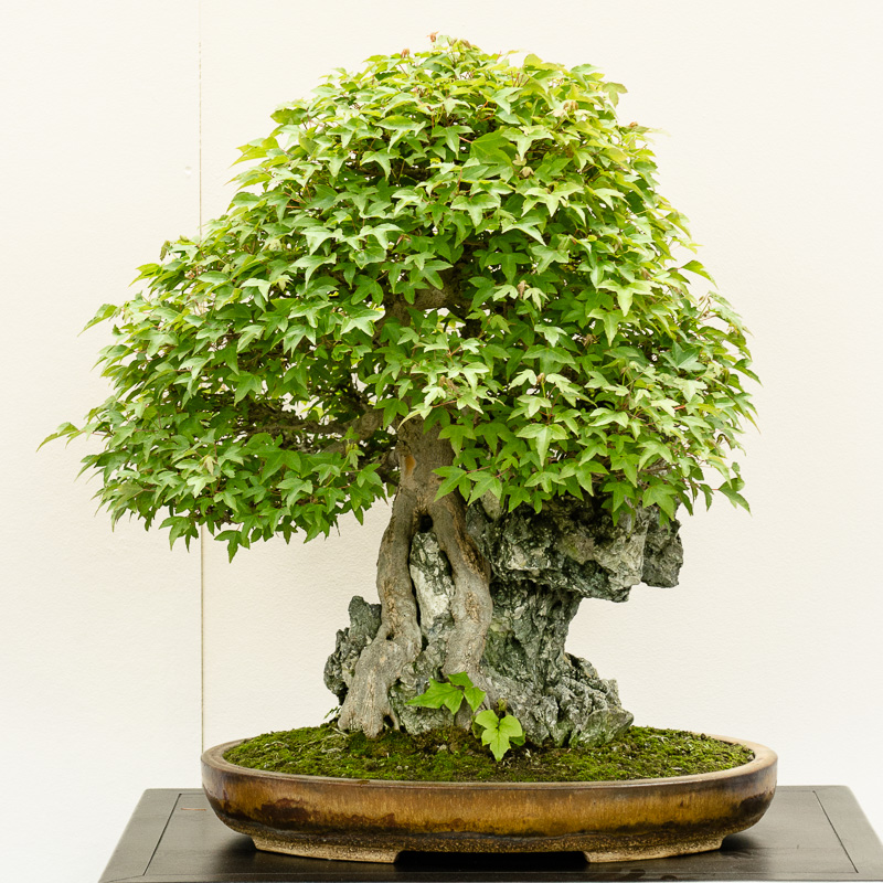 Acer buergerianum im botanischen Garten München 2014