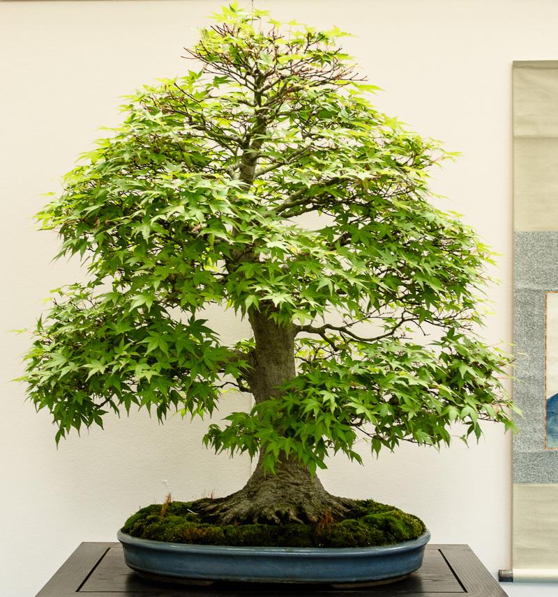 Acer palmatum im botanischen Garten München 2014