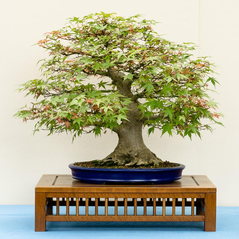 Acer palmatum Benichidori
