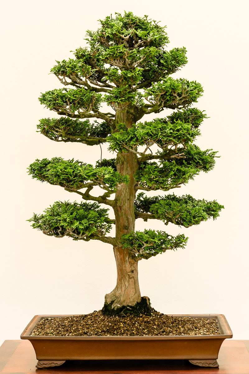 chamaecyparis obtusa muschel zypresse als bonsai. Black Bedroom Furniture Sets. Home Design Ideas