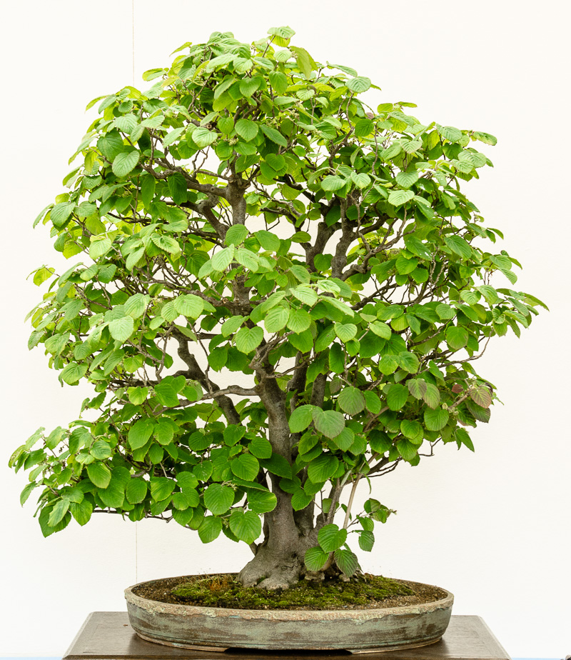 Ährige Scheinhasel - Corylopsis spicata als Bonsai