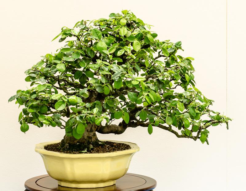 Chinesische Quitte - Cydonia sinensis als Bonsai