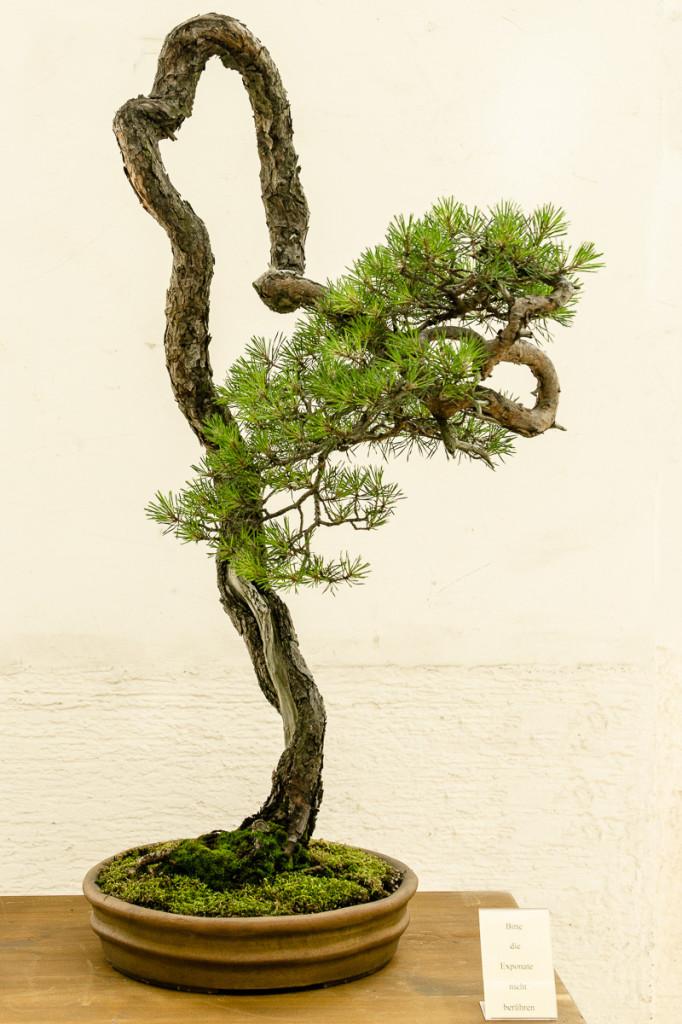 Pinus sylvestri Bonsai Literat von Walter Pall