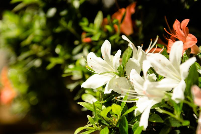 Blüten an einem Rhododendron indicum Kikenyo Bonsai