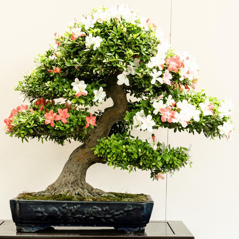 Rhododendron indicum Kogetsu Bonsai-Baum