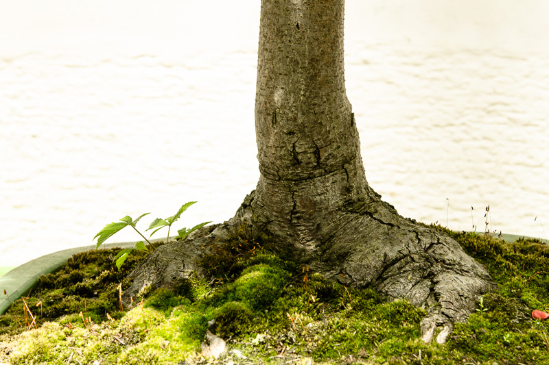 Nebari Rosskastanie - Aesculus hippocastanum