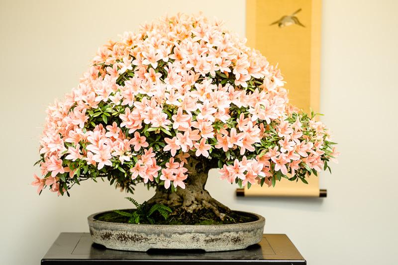 Blühender Rhododendron indicum Bonsai