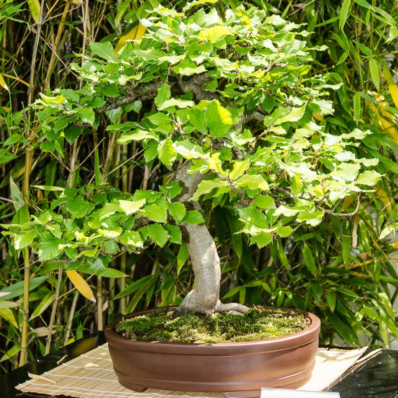 Rot-Buche als Bonsai-Baum