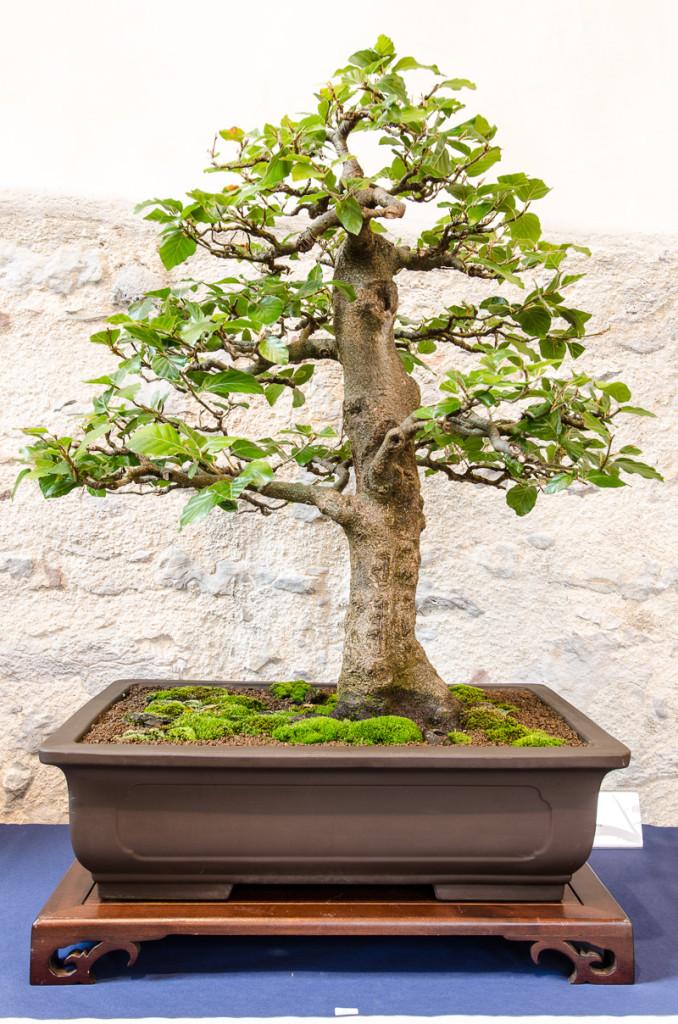 Bonsai-Rohling einer Rot-Buche (Fagus sylvatica)