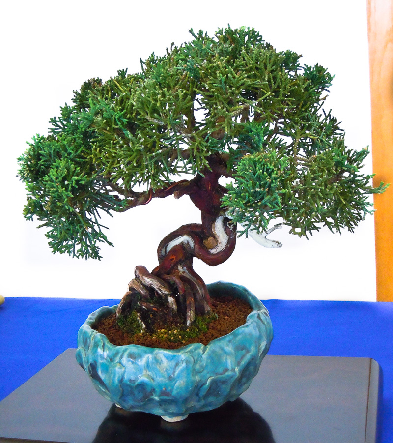 Juniperus chinensis - Shohin-Bonsai