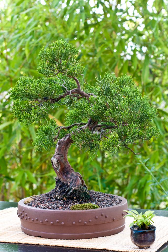 Chinesischer Wacholder (Juniperus chinensis) als Bonsai-Baum