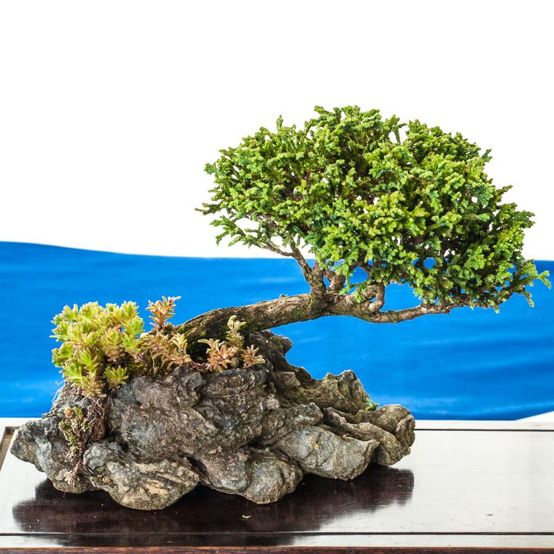 Juniperus chinensis als Beistellpflanze