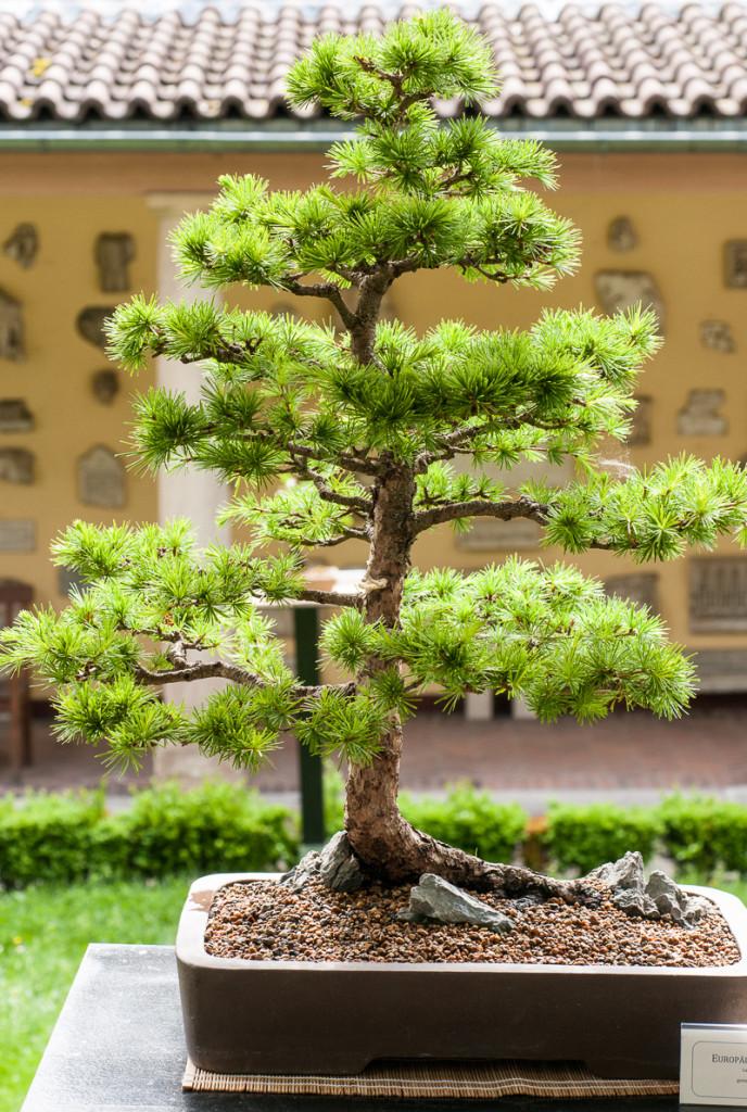 Larix decidua Bonsai-Baum