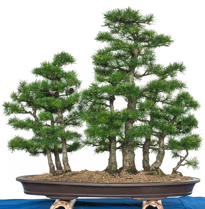 Bonsai Wald aus Lärchen (Larix decidua)