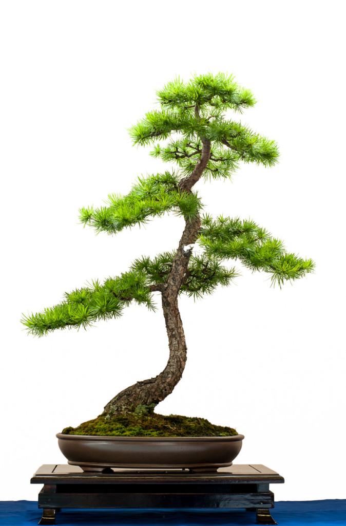 Nadelbaum Lärche als Bonsai