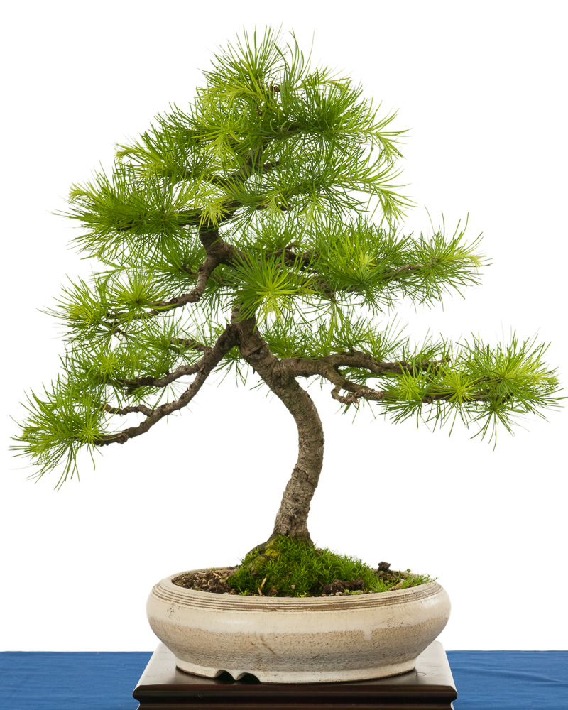 Europäische Lärche (Larix decudia) als Bonsai-Baum