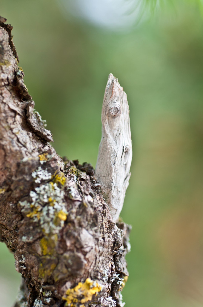 Totholz an einer Lärche