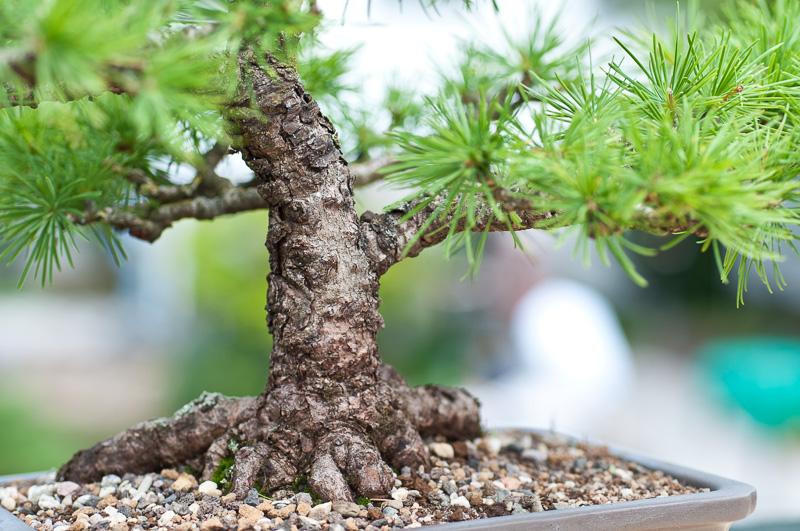 Nebari eines Larix decidua Bonsai