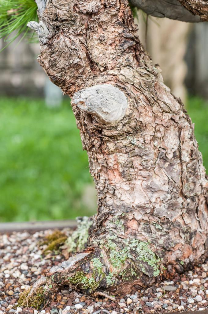 Borke einer europäischen Lärche (Larix decidua)