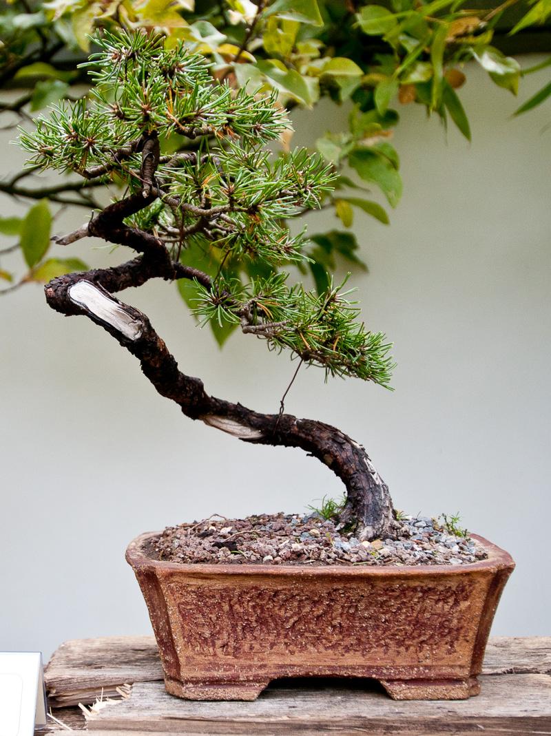platz 10 beliebtester outdoor bonsai berg kiefer. Black Bedroom Furniture Sets. Home Design Ideas