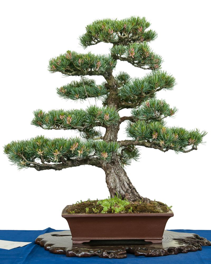 platz 7 beliebtester outdoor bonsai m dchenkiefer. Black Bedroom Furniture Sets. Home Design Ideas