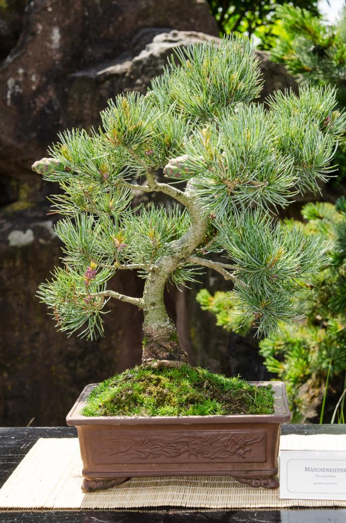 Shohin-Bonsai einer Mädchenkiefer (Pinus parvifolia)