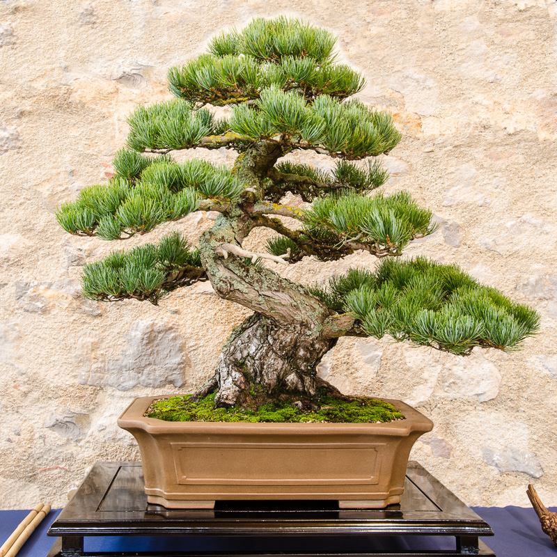 Mädchenkiefer (Pinus parvifolia) als Bonsai
