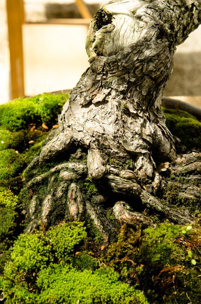 Nebari einer Mädchenkiefer (Pinus parviflora)