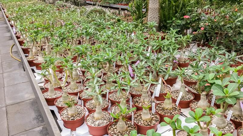 Adenium-Pflanzen bei Kakteen-Uhlig