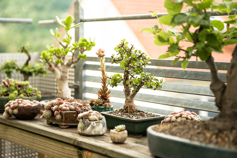 Bonsai-Bäume und Akzentpflanzen