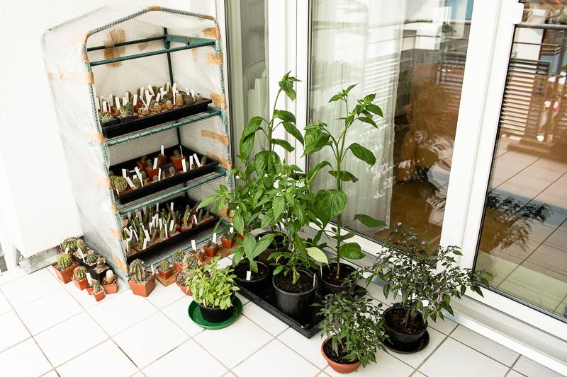 Kakteen im Foliengewächshaus und Chili-Pflanzen