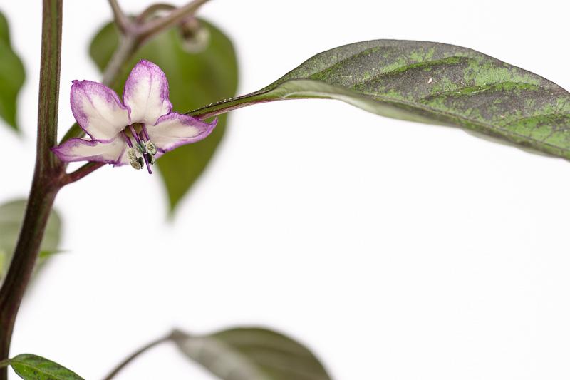 Blüte der Chili-Züchtung Pretty Purple