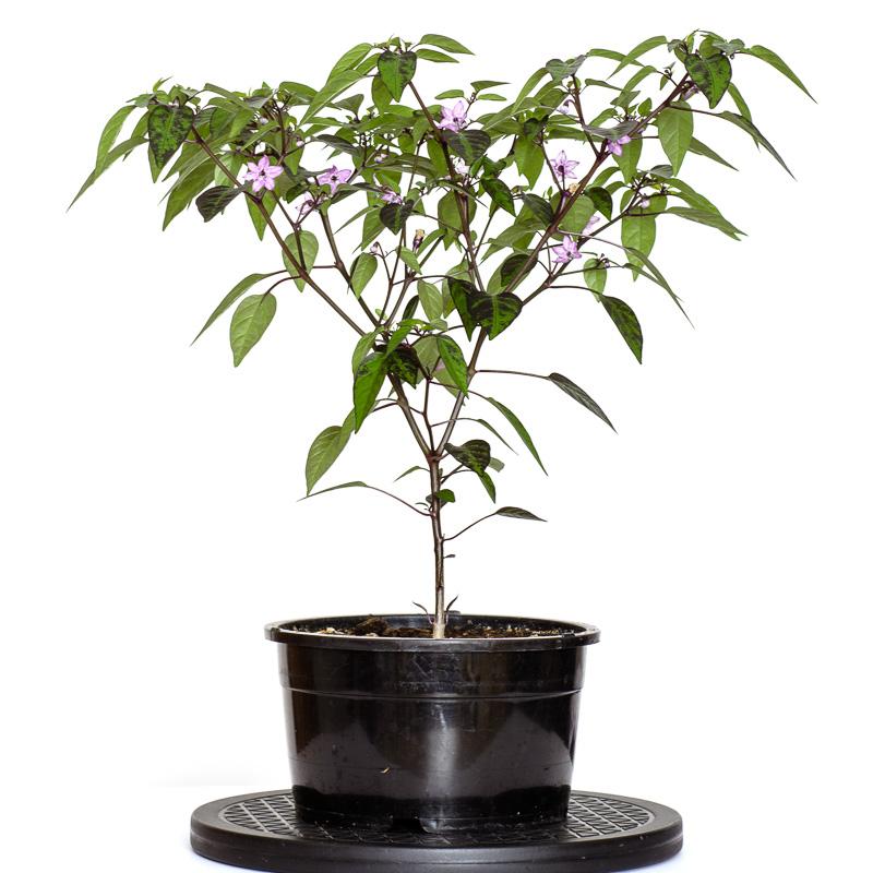 Chili-Pflanze Pretty in Purple (Capsicum annum) in Blüte