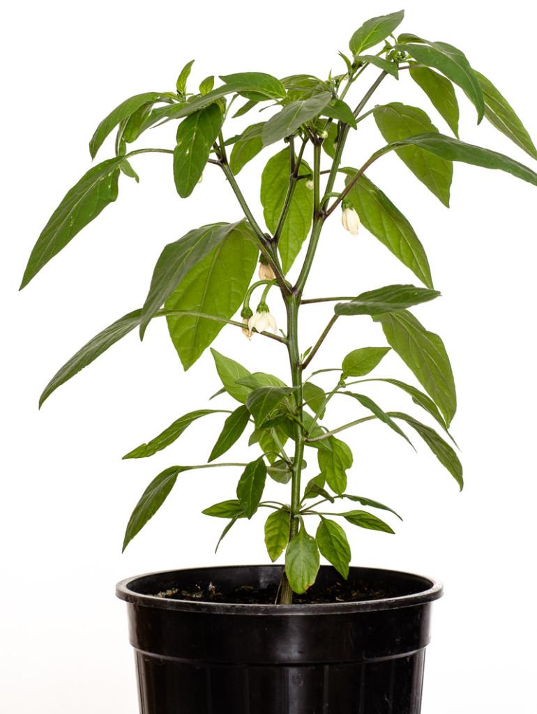 Chili-Pflanze Jalapeno NuMex Primavera (Capsicum annuum)