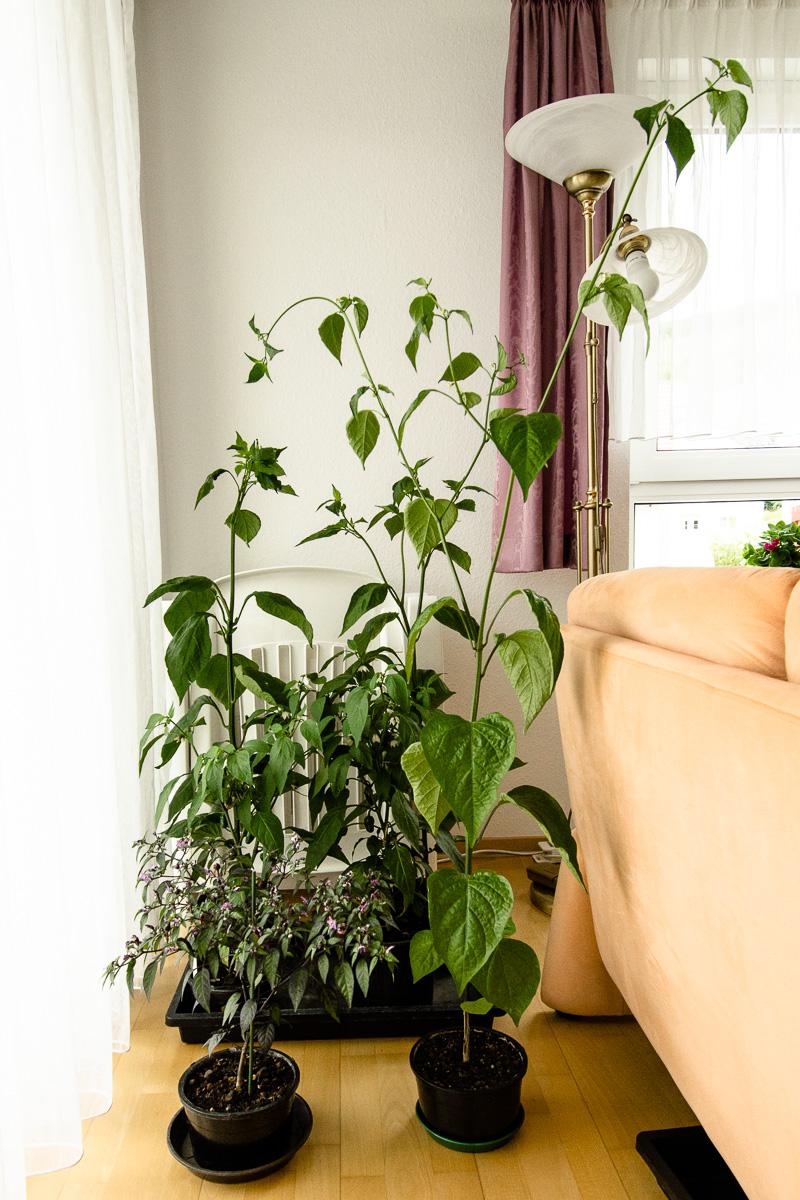 Chili-Pflanzen auf dem Bonsai-Balkon