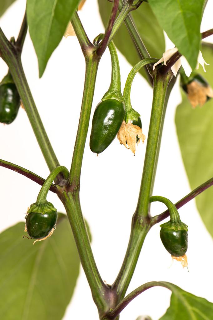 Grüne Chili-Frucht Jalapeno NuMex Primavera (C. annuum)