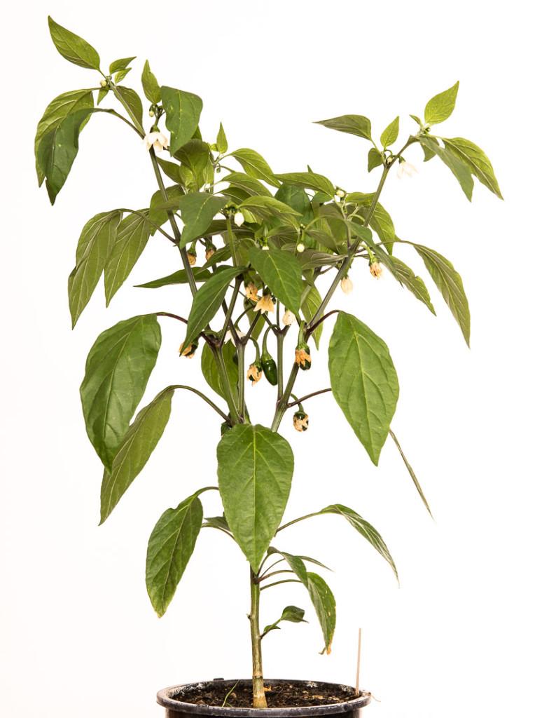 Chili-Pflanze Jalapeno NuMex Primavera (C. annuum)