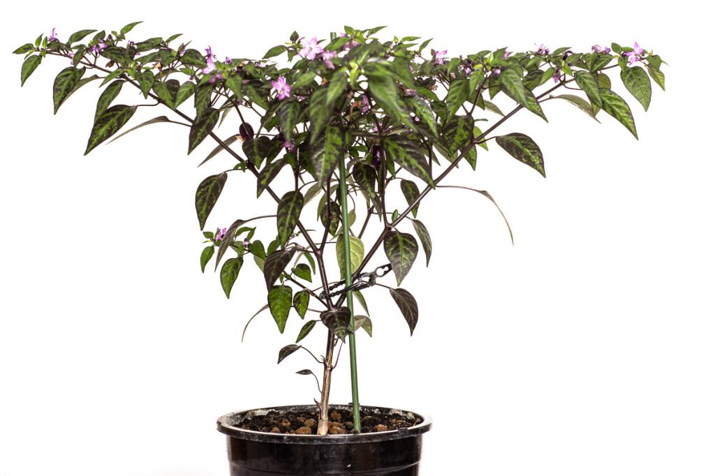Chili-Pflanze Pretty in Purple (Capsicum annum)