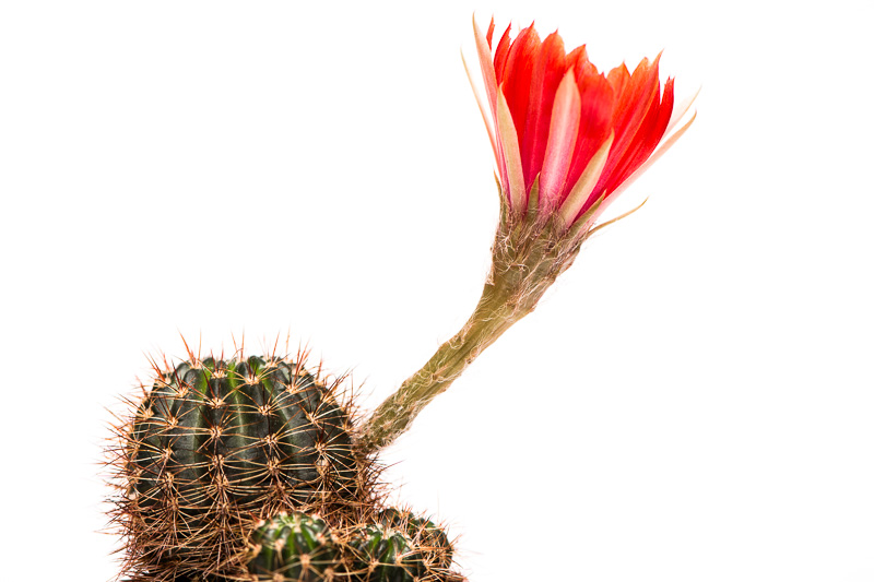 Lobivia spec. mit grosser roter Blüte