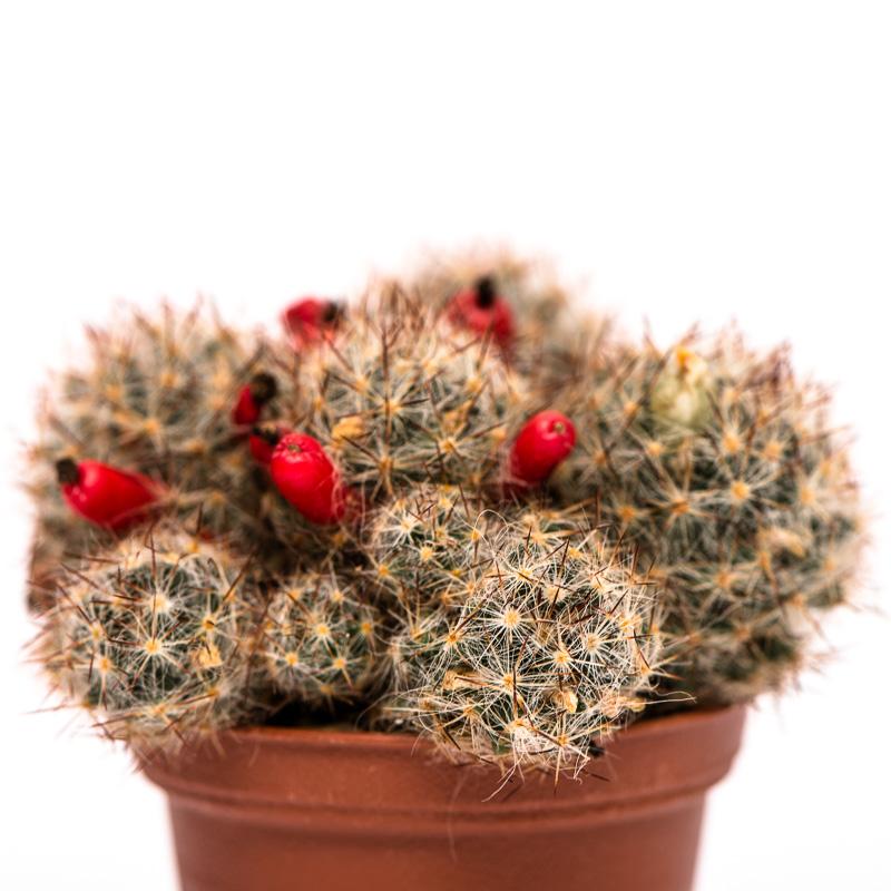 Mammillaria prolifera mit roten Früchten