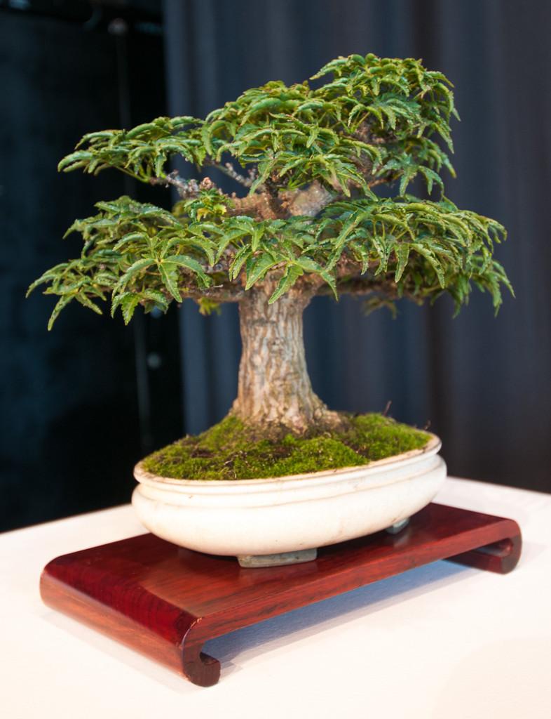 Schlangenhaut-Fächerahorn als Shohin-Bonsai