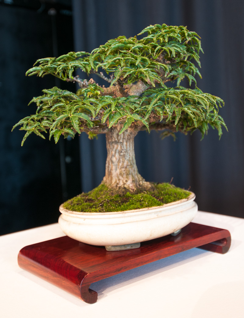 platz 2 beliebtester outdoor bonsai f cherahorn. Black Bedroom Furniture Sets. Home Design Ideas