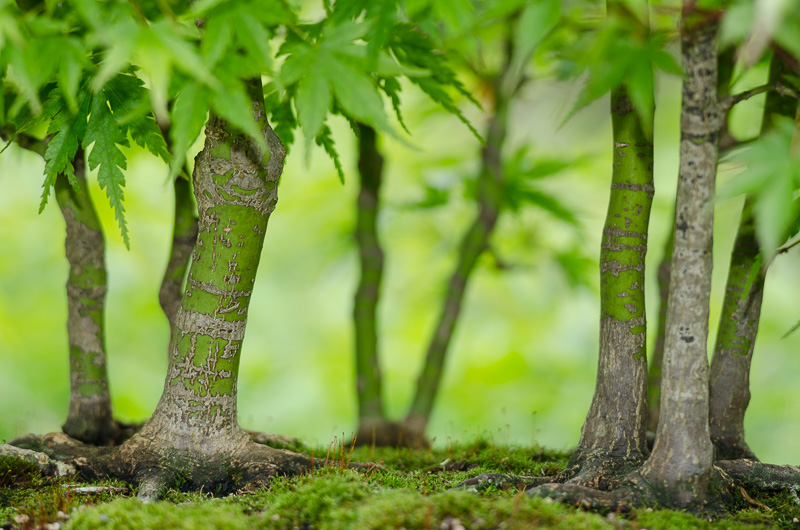 Fächerahorn als Wald