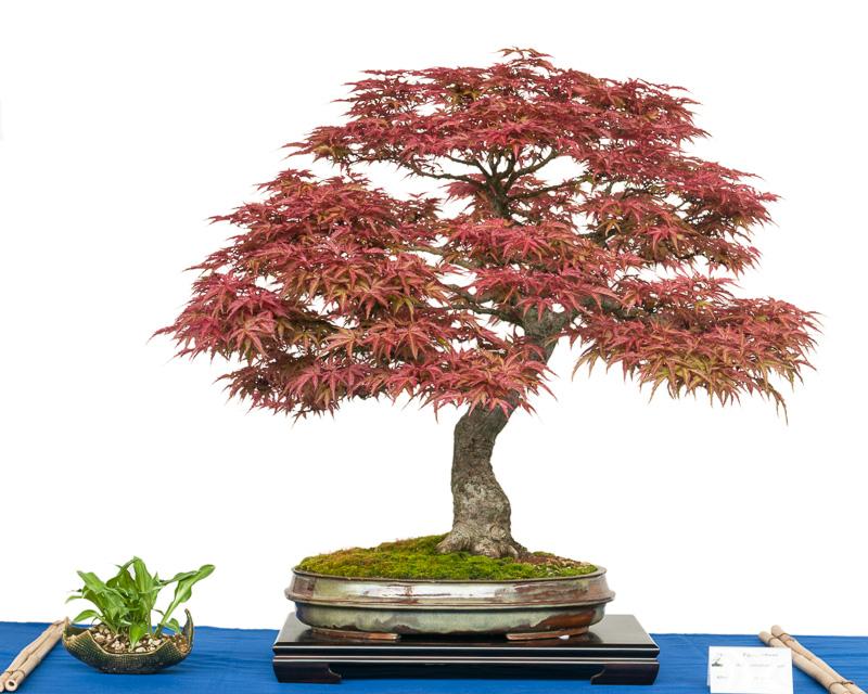 Acer palmatum Seigen als Bonsai-Baum