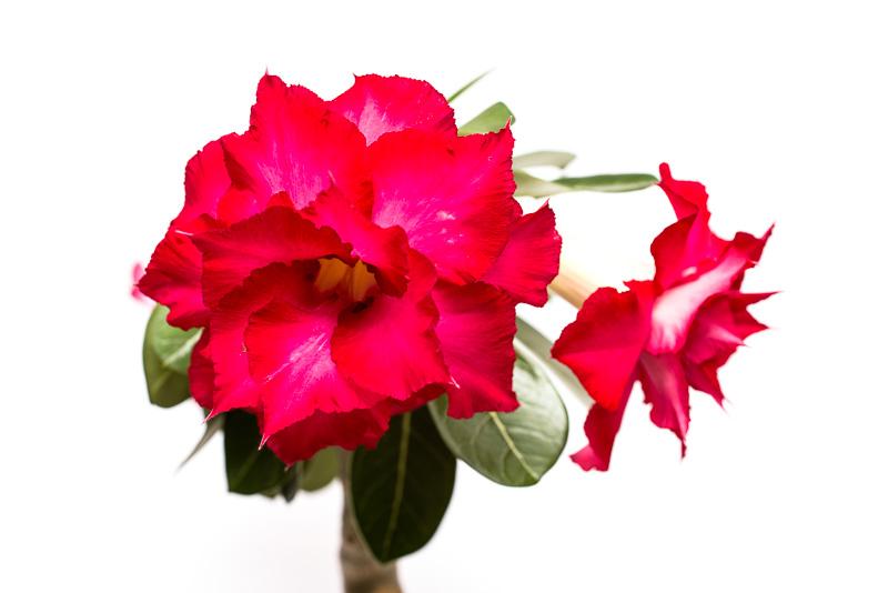 Rote Blüte der Adenium-Hybride Tri-Star
