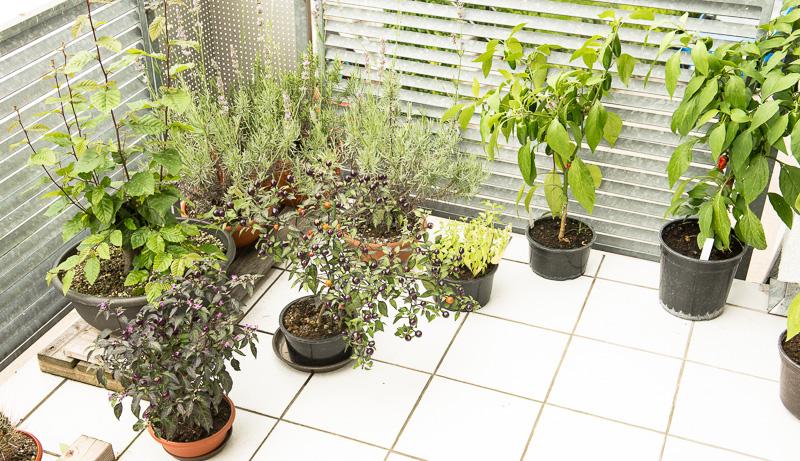 Bonsai und andere Pflanzen im August 2014 auf dem Balkon