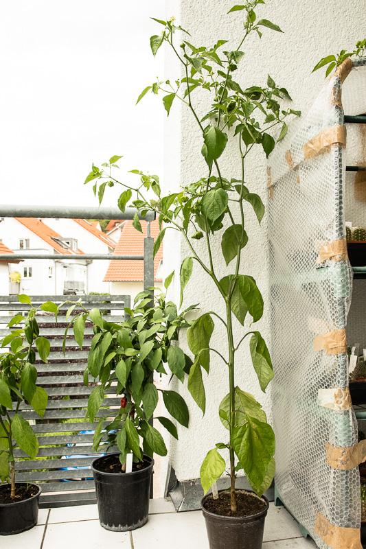 Chili-Pflanzen auf dem Balkon
