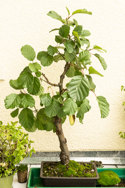 Schwarzerle (Alnus glutionosa) im August