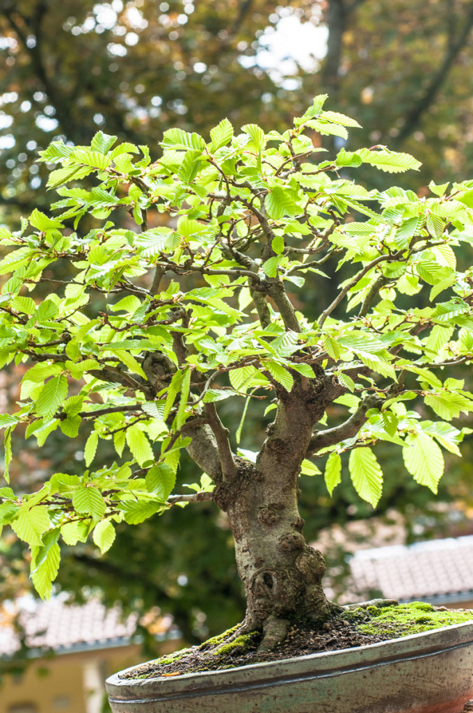 Carpinus betulus Bonsai-Baum