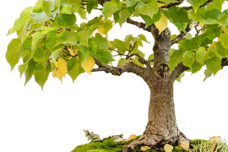 Nahaufnahme Winter-Linde (Tilia cordata) als Bonsai-Baum